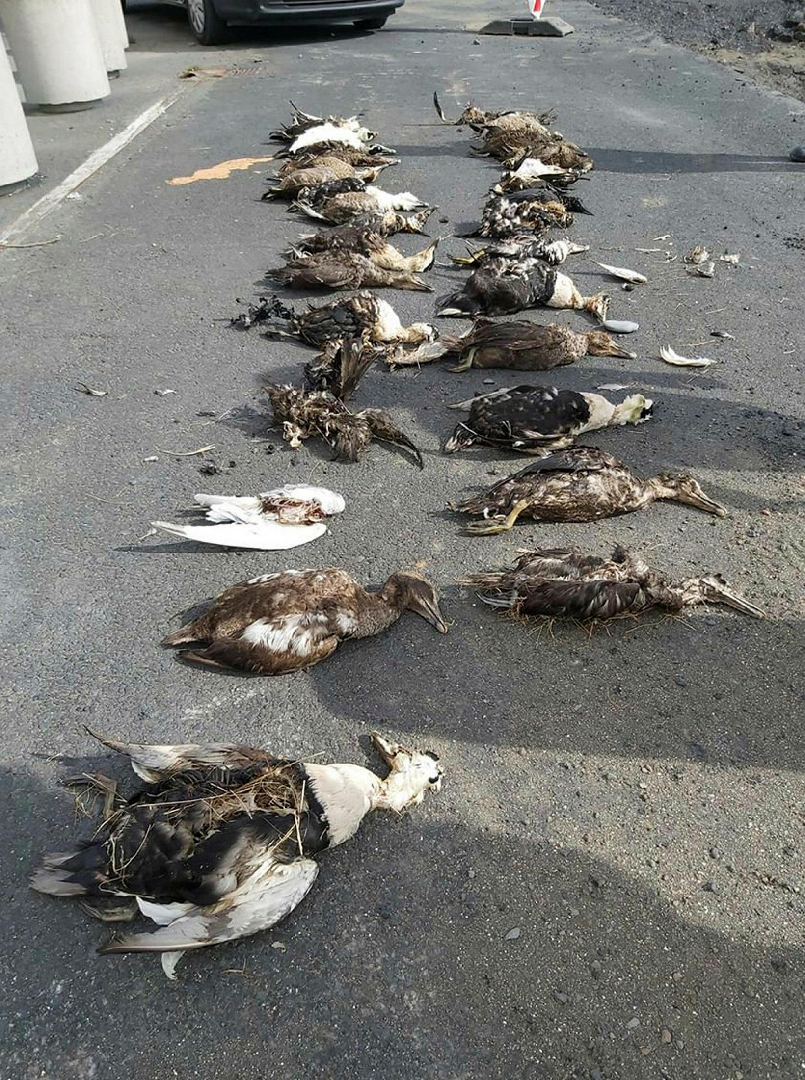 Carcasses at Stafnes point, Heimaey island.