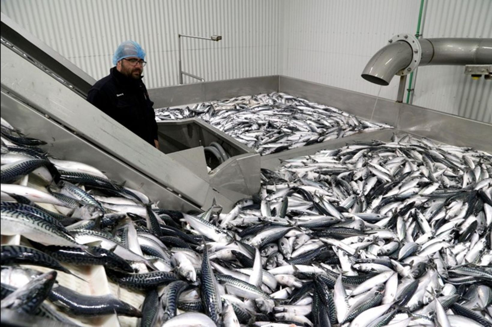 Um 6.000 tonn af makríl hefur ratað í fiskvinnslu Vinnslustöðvarinnar …
