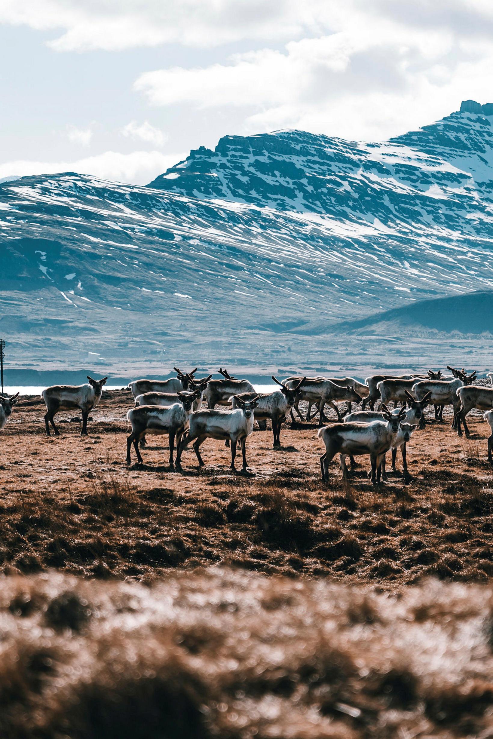 Reindeer in East Iceland.