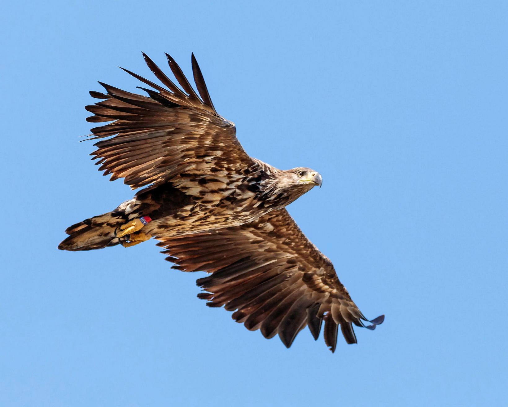 White-tailed eagle.