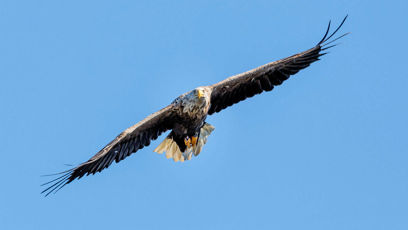 White-tailed eagle near Stykkishólmur, West Iceland, this summer.