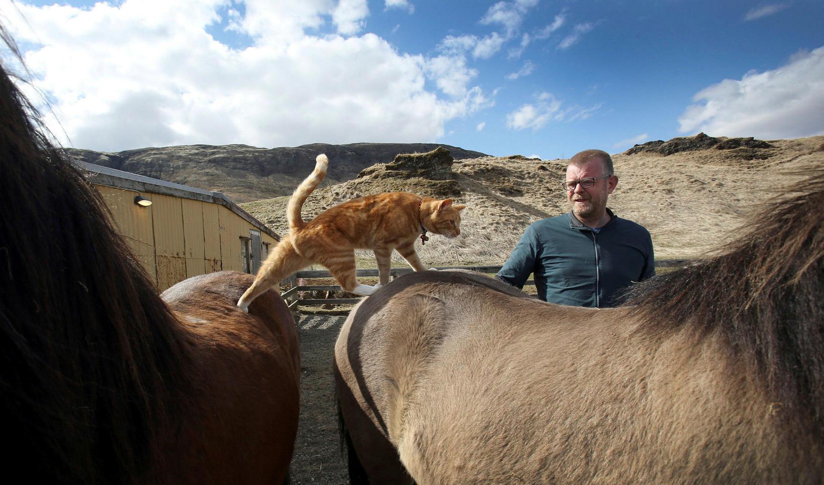 Gullbrandur hoppar óhræddur á milli hestanna á Helgastöðum.