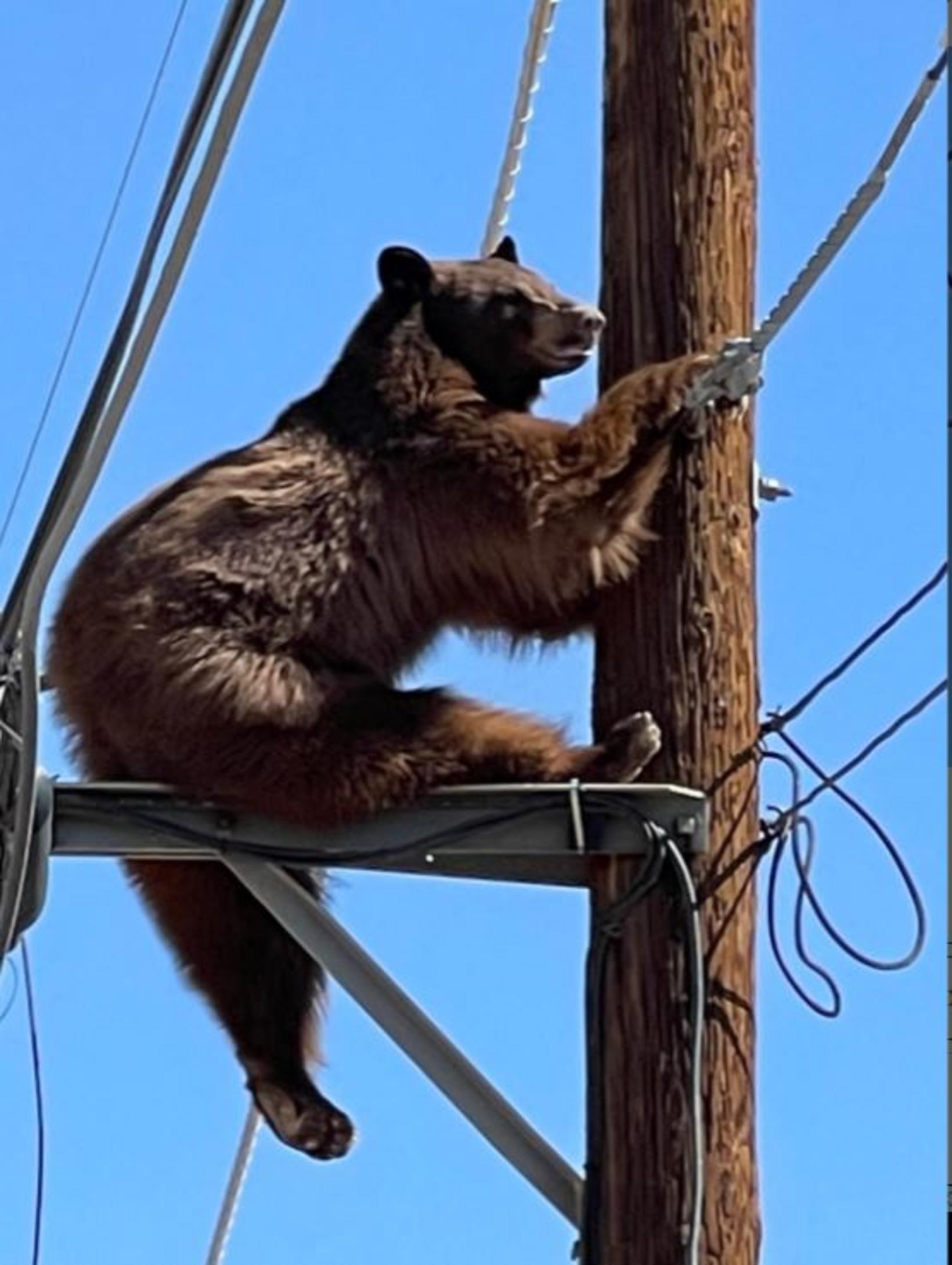 Skógarbjörn í Arizona-ríki.