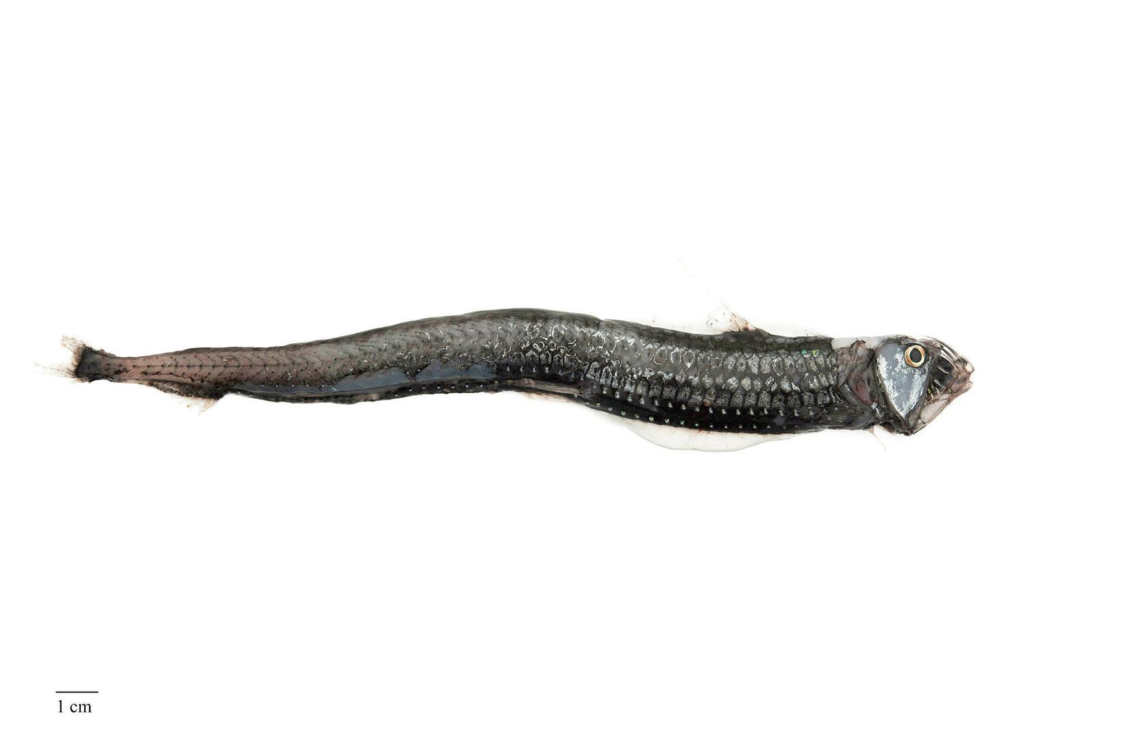 Sloans-gelgja hefur tvöfalda röð ljósfæra.