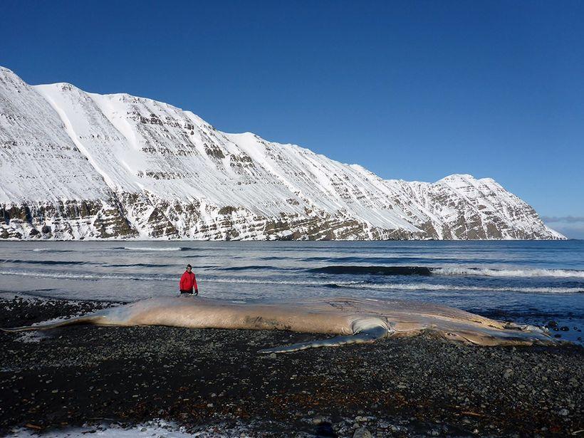Hnúfubakinn sem rak á land er um 17 metrar að ...