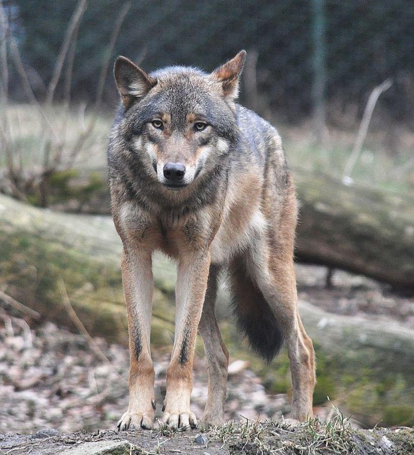 A European wolf.
