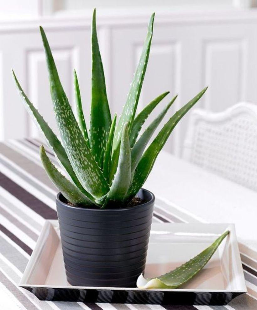 Aloe Vera er fyrirtaks planta til að hafa í eldhúsinu, …