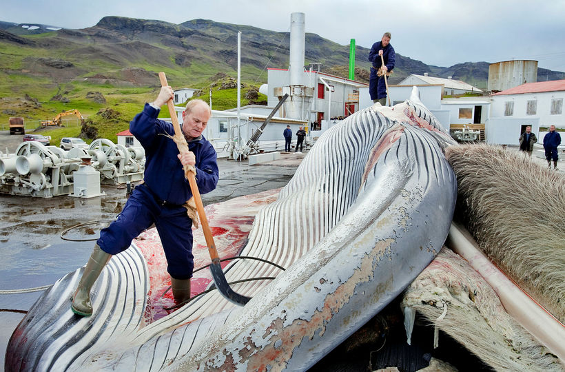 Gert að langreyð í Hvalstöðinni sumarið 2015. Engar veiðar hafa ...