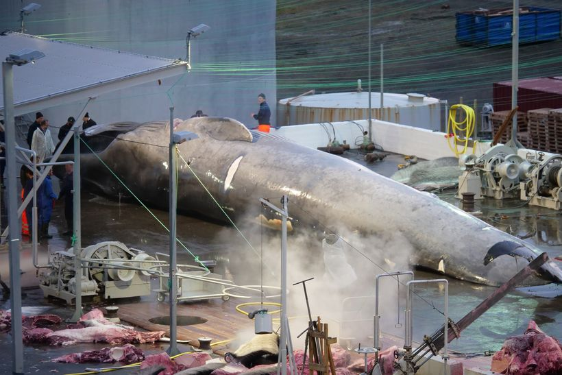 Rare blue whale hybrid possibly hunted by Icelandic whaling company