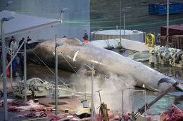 The whale that was hunted on July 8. Results from a DNA analysis are still being awaited.