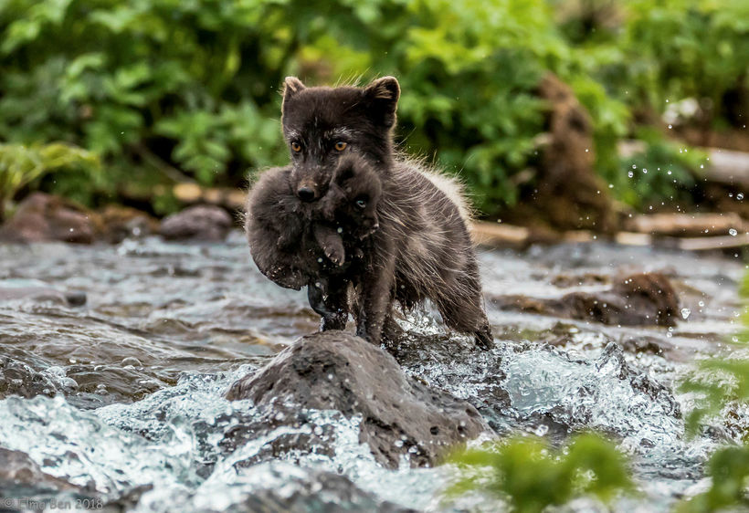 An Arctic fox carrying its young across a river in ...