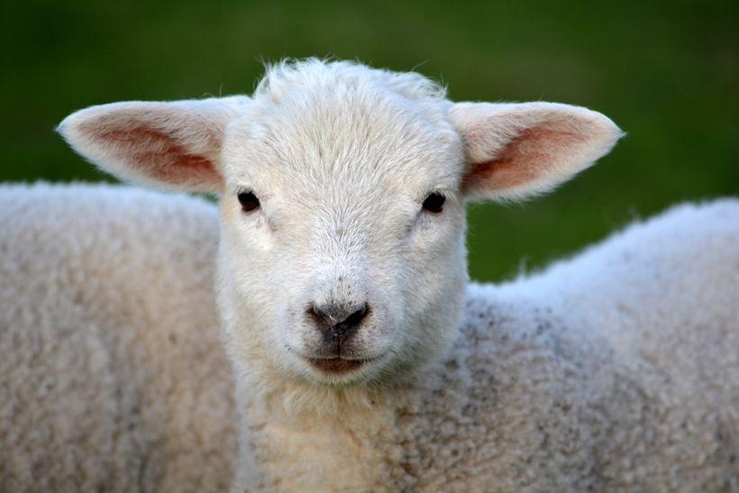 Þetta lamb er rosa sætt.