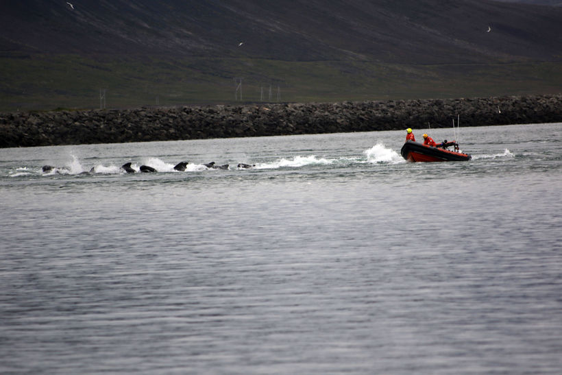 Rescue teams driving the whales out of the fjord last ...