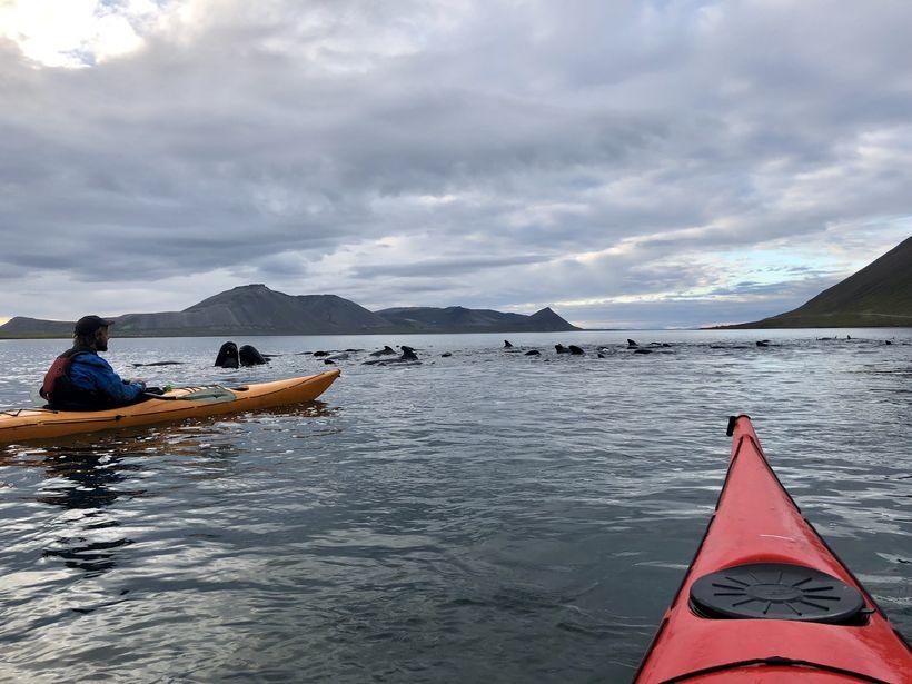 Grindhvalirnir í Kolgrafafirði.