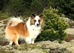 The Icelandic Sheepdog Kátur from Keldudalur. His name means happy.