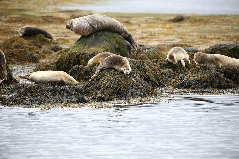 Selir voru mesta aðdráttarafl Hvammstanga, en hér hvílast nokkrir slíkir ...