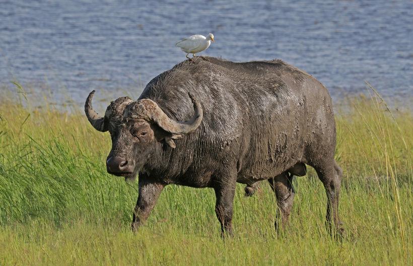 Afrískur buffall.