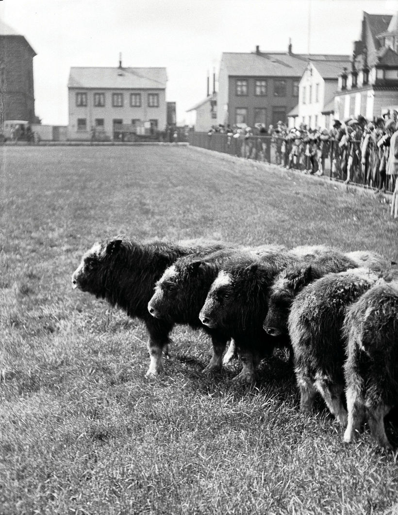 Fjölmenni kom saman á Austurvelli til að skoða sauðnautin.