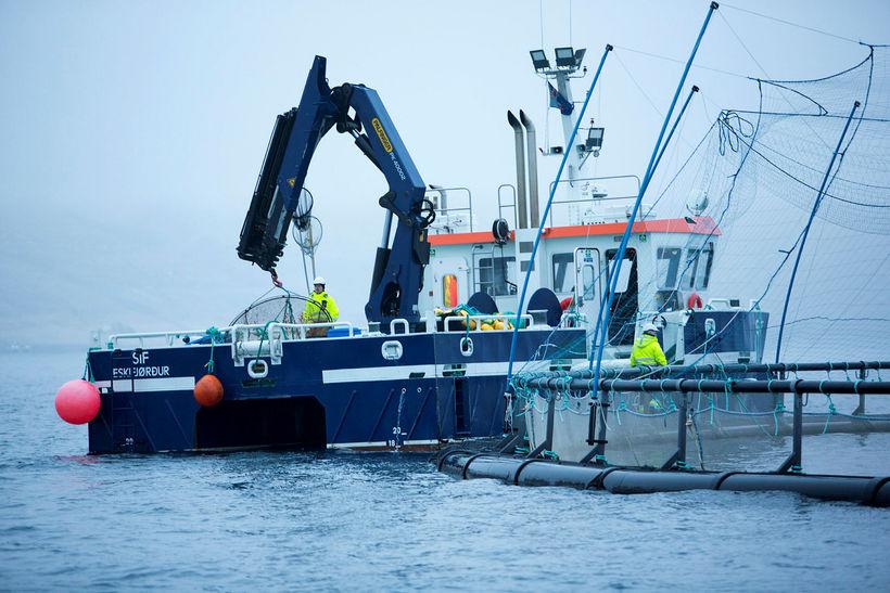 Til stendur að slátra um 1.700 tonnum af laxi úr ...