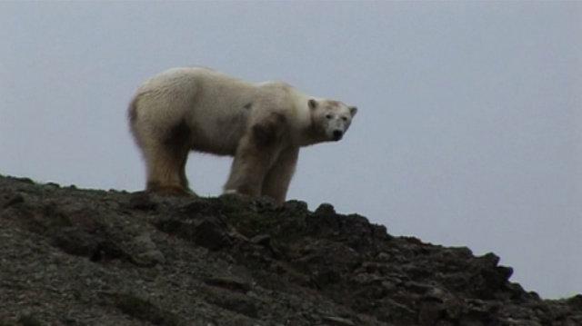 Ísbjörninn, sem skotinn var í Skagafirði fyrir hálfum mánuði.