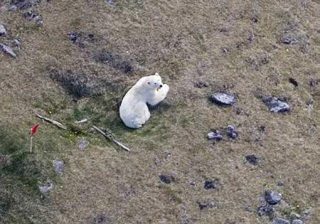 Ísbjörninn að Hrauni í gær