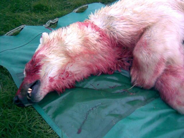 Ísbjörninn var drepinn við Hraun í kvöld.