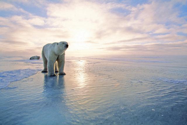 Ísbjörn á ferð í Manitoba í Kanada. Mynd úr safni.
