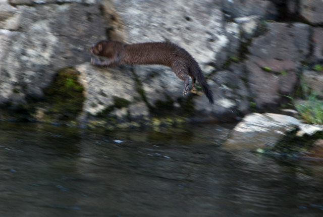 A mink fishing in an Icelandic river.