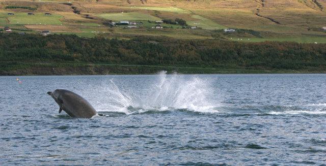 Andarnefjur dvöldu um tíma í fyrra á Pollinum við Akureyri.
