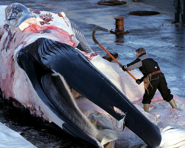 Whaling is a controversial subject.