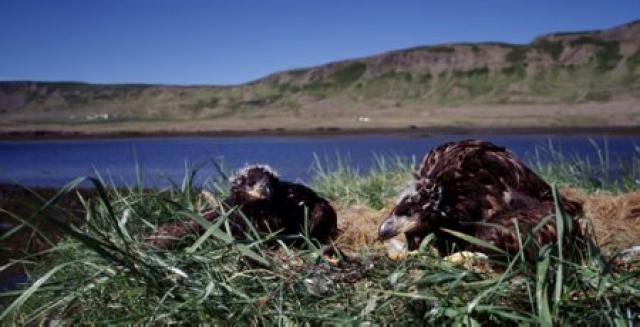 Arnarpar við hreiður.