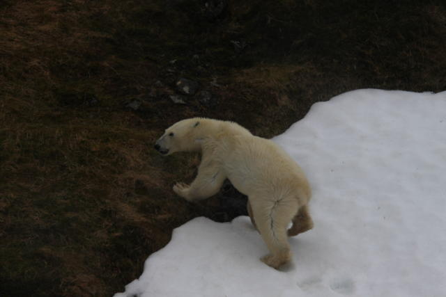 A live polar bear roaming in North-West Iceland in 2011.