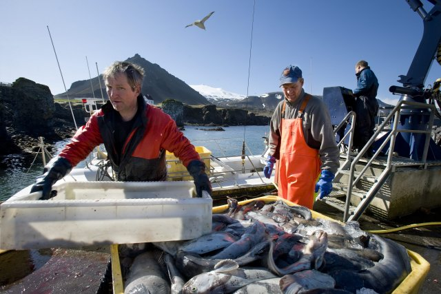 A catch of Icelandic cod.