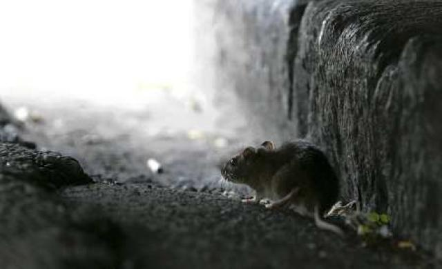 Reykvísk rotta