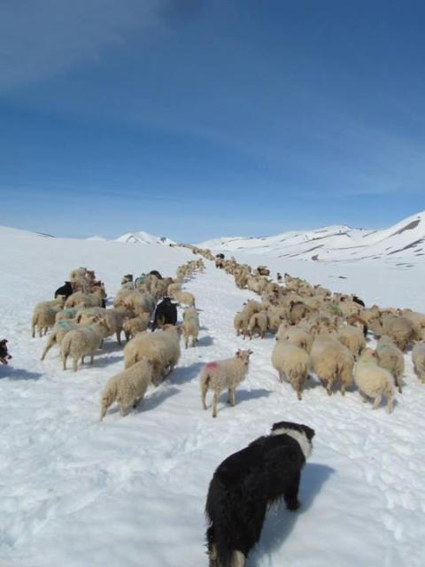 Um 400 kindur voru reknar um 15 km langa leið.