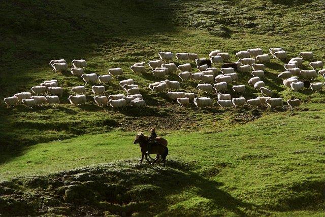 A farmer herding sheep in Iceland.