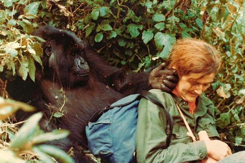 Dian Fossey ásamt eftirlætis górillunni sinni, silfurbaknum Digit.
