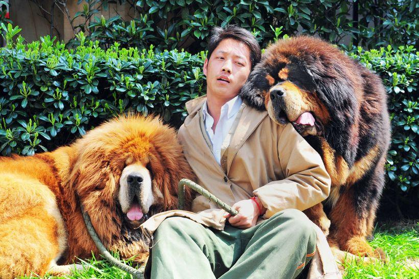 Maður með tvo hunda af tegundinni tibetan mastiff á hundasýningunni ...