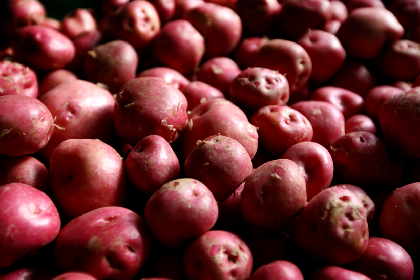 New Icelandic red potatoes are anticipated by many Icelanders every …