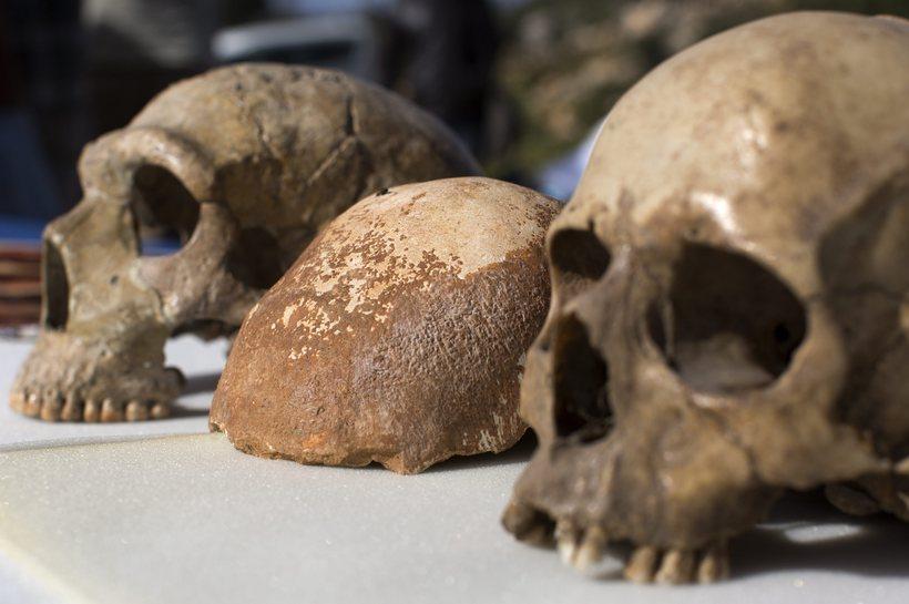 Hauskúpa Neandersdalsmanns (t.v.) við hlið höfuðkúpu nútímamanns (t.h.).