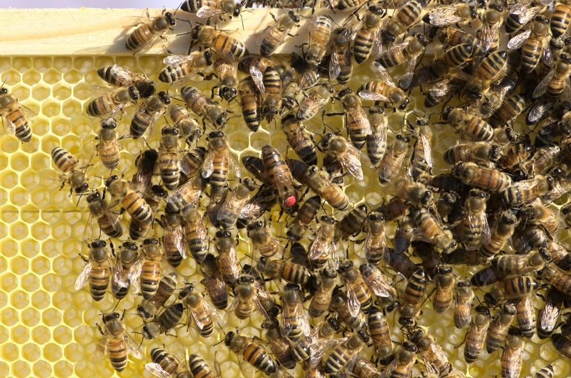 Bees are vital to organic tomato farms in Iceland.
