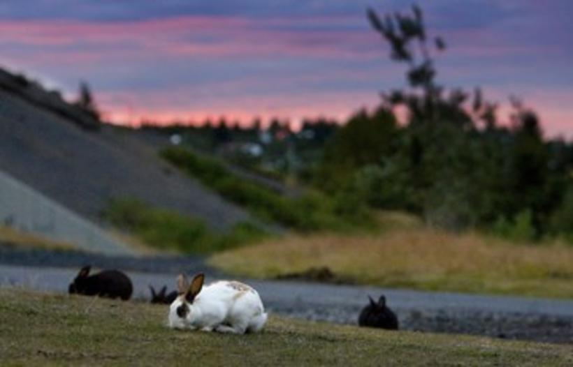 Rabbits in Elliðaárdalur. Police were surprised to see a number …