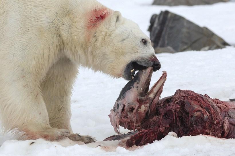 Ísbjörn að éta höfrung á Svalbarða.