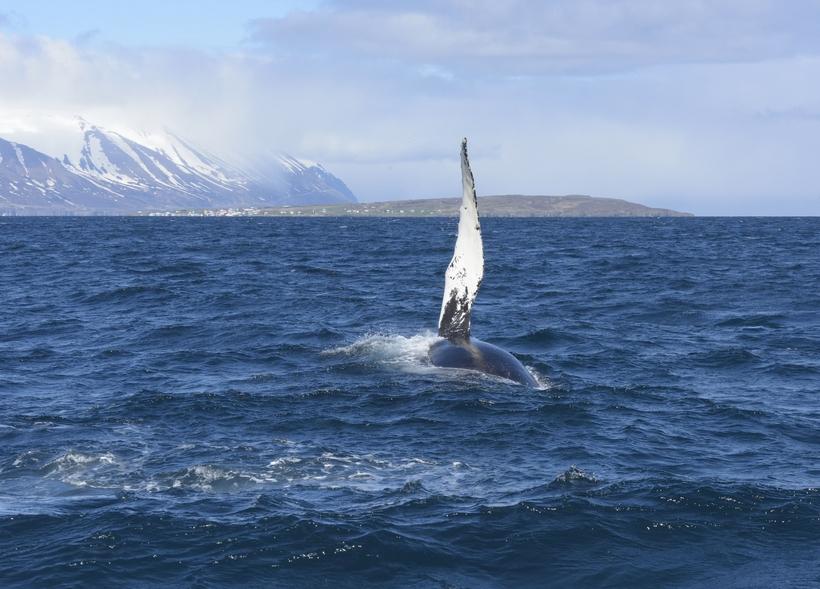 Athuga þarf hvort gera eigi ráð fyrir gjaldi vegna hvalveiða ...
