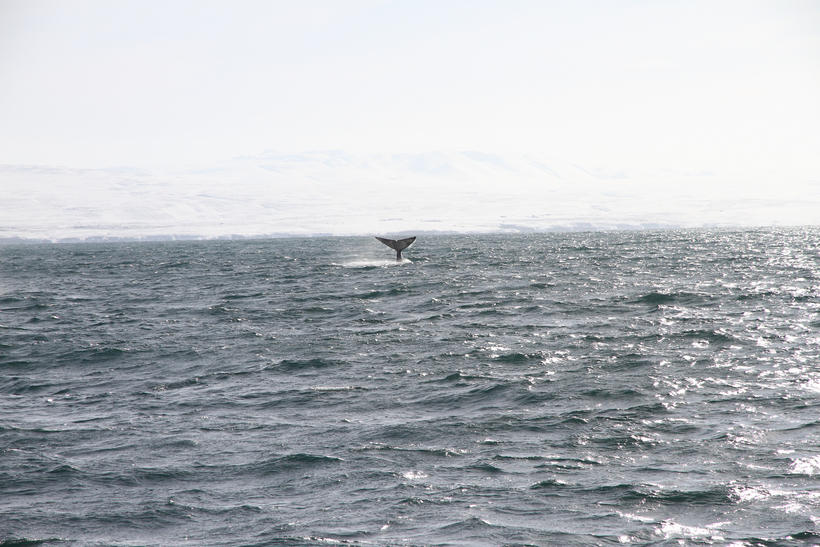 The blue whale waved its tail when passing by a …