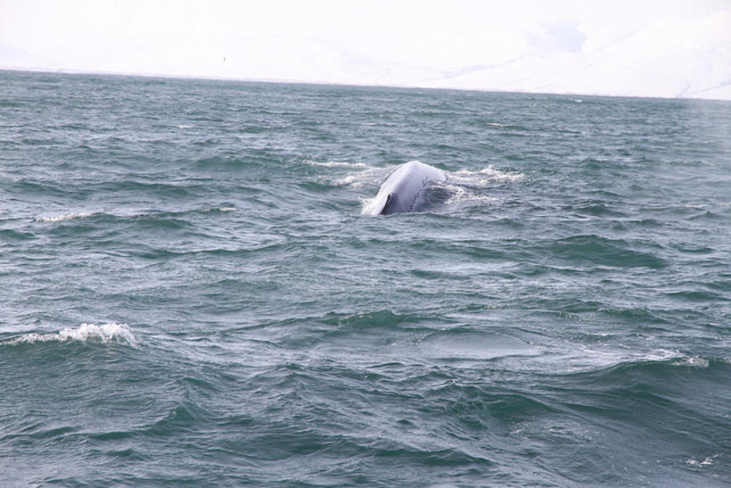 The blue whale is the world's largest existing mammal.