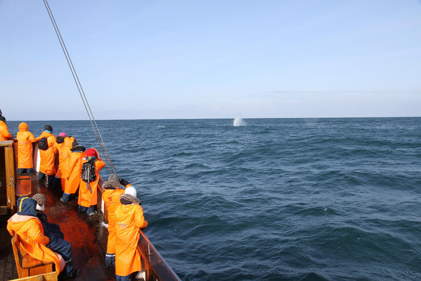 Passengers on the whale watching trip watching the blue whale …