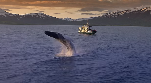 Whales jumping out of the waters of Eyjafjörður, north Iceland, ...