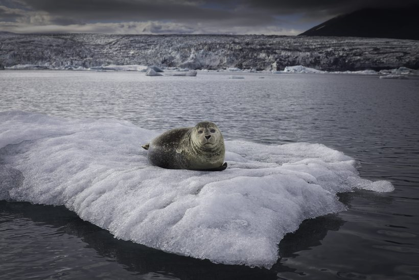 Seals often rest on the icebergs at Jökulsárlón glacial lagoon.