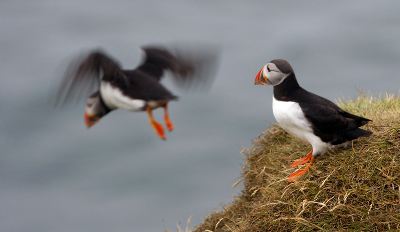 The iconic puffin.